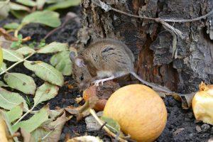 הדברת עכברים בגינה